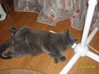 Изображение в   Пропал голубой шотландский кот (серо-дымчатый) в Орле 0