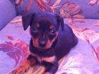 Свежее изображение  продам щеночка той-терьера 32621772 в Оренбурге