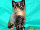 Фото в   Чистокровные котята Мейн-кун, рождённые 19. в Оренбурге 0