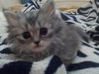 Фото в   Британская кошечка. От вислоухого кота. Мама в Оренбурге 0