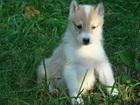Фотография в Собаки и щенки Продажа собак, щенков Продаются щенки западносибирской лайки с в Екатеринбурге 10000