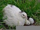 Скачать изображение Птички Продам техасских белых перепелок, яйцо, мясо 38395357 в Оренбурге