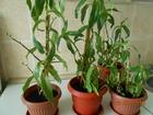 Свежее foto Растения Лечебное растение Золотой Ус 69707449 в Оренбурге