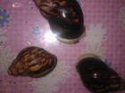 Скачать бесплатно изображение  продам улиток архахатины сутуралис (гипомеланик, сильвер, альбино) 34871224 в Орске