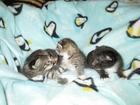 Фото в  Отдам даром - приму в дар Четверо очаровашек ищут хозяев, трое — серых-полосатых в Павловском Посаде 0