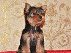 Уникальное изображение  Продаются щенки йоркширского терьера 32343197 в Саратове