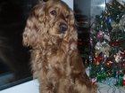 Фото в Собаки и щенки Вязка собак Ищем опытного мальчика породы английский в Пензе 0