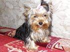 Изображение в Потерянные и Найденные Потерянные Пропала собачка йоркширский терьер 17. 10. в Пензе 0