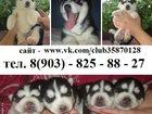 Фото в Собаки и щенки Продажа собак, щенков Щенки хаски черно-белые голубоглазые в продаже. в Пензе 0
