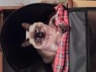 Фотография в Кошки и котята Вязка Предлагаю котика (8 месяцев)породы Меконгский в Пензе 0