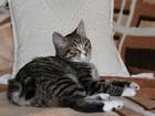 Фотография в Кошки и котята Вязка Молодой курильский бобтейл ищет подружку в Пензе 0