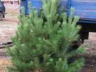 Уникальное изображение Растения Новогодние живые елки сосны оптом 37185372 в Пензе