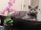 Скачать бесплатно изображение Вязка Британский кот для вязки 38355777 в Пензе