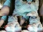 Фото в Кошки и котята Вязка красавец на вязку в Пензе 300