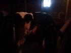Скачать бесплатно изображение Другие животные Продажа тёлки на плёмя 38630642 в Каменке