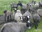 Уникальное фото Другие животные продам чистопородных овец романовской породы 39625382 в Пензе