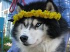 Сибирский хаски фото в Пензе
