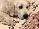 Просмотреть фото Вязка собак Золотистый ретривер вязка, 66498955 в Пензе