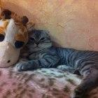Опытный вислоухий шотландский кот для вязки