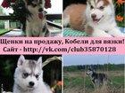 Фотография в Собаки и щенки Продажа собак, щенков Породистые хасята продам недорого от 10 тысяч! в Переславле-Залесском 0