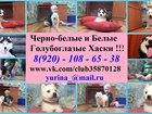 Сибирский хаски фото в Переславле-Залесском