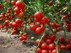 Свежее foto Строительные материалы Богатый урожай 35089847 в Перми
