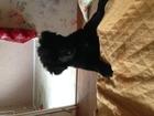 Изображение в Собаки и щенки Продажа собак, щенков Щенок мэрри, самоедской Лайки. 1, 5 месяца. в Перми 1