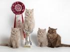 Фото в Кошки и котята Продажа кошек и котят Предлагаются британские длинношерстные котята, в Перми 15000