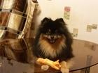 Фотография в Собаки и щенки Вязка собак Красивый, темпераментный, игривый, добрый в Перми 6500