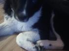 Изображение в   Срочно! Отдам щенка в хорошие добрые руки. в Перми 0