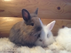 Смотреть фото Грызуны Львиноголовые крольчата 38569975 в Перми