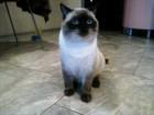 Свежее фотографию Вязка кошек Британский кот ищет любовь 47531373 в Перми