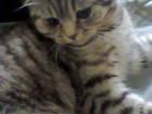 Свежее фото  Ищем жениха для кошечки шотландская вислоухая возраст 1 г, 3 м-ца 60385656 в Перми