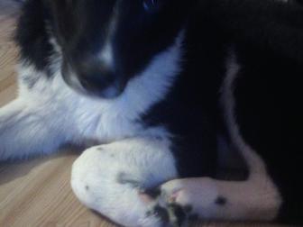 Скачать бесплатно изображение  отдам щенка 37904479 в Перми