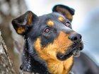 Фотография в   Гром-статный, красивый,   мощный пес. Гром в Первоуральске 0
