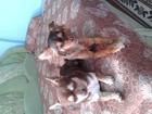 Изображение в Собаки и щенки Вязка собак Срочно ищем мальчика для девочки той-терьера. в Первоуральске 0