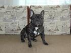 Изображение в Собаки и щенки Вязка собак Кобель породы французский бульдог предлагает в Первоуральске 1000