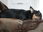 Увидеть foto Вязка собак ищем кабеля для вязки той-терьеа 32647992 в Петрозаводске