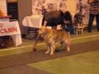 Изображение в Собаки и щенки Вязка собак Предлагается для вязки замечательный кобель в Петрозаводске 0