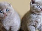 Изображение в Кошки и котята Продажа кошек и котят шотландские котята. Скоттиш - страйт и скоттиш-фолд. в Питере 10000