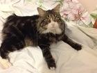 Фотография в Кошки и котята Вязка курильский бобтейл котик сочно нуждается в Подольске 0