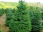 Увидеть foto  Куплю оптом новогодние живые елки и сосны 37684514 в Подольске