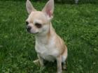 Фото в Собаки и щенки Вязка собак Порода: Чихуахуа  Предлагается кобель c питомника в Подольске 5000