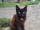 Смотреть фотографию Отдам даром - приму в дар Шоколадные котятки ищут новый дом 40027623 в Подольске