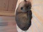 Просмотреть фото Вязка кошек Срочно на вязку мальчик шотландец прямоухий 68136676 в Подольске