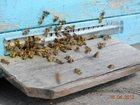 Изображение в Домашние животные Другие животные Продам сильные пчелосемьи карпатской породы в Поворино 3000