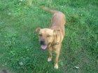 Скачать foto Продажа собак, щенков Мальтийский дог - найденыш - отдадим даром 32350562 в Приозерске