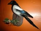 Фотография в Хобби и увлечения Охота продам и изготовлю чучела птиц качество гарантирую! в Пскове 0