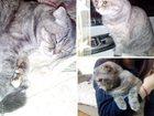 Фото в Кошки и котята Вязка Кошечка шотландская вислоухая, с родословной. в Раменском 0