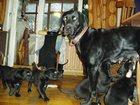 Фотки и картинки Курцхаар смотреть в Раменском